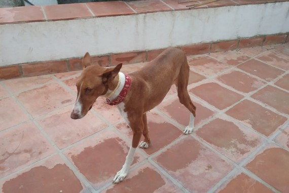 May 2019 – Winnie – A truly stunning podenco